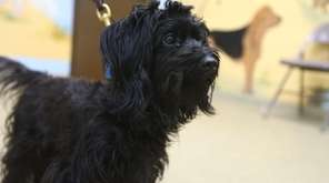Mink is a 5-year-old poodle mix who loves