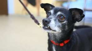 Macho is a spry 10-year-old Chihuahua mix who