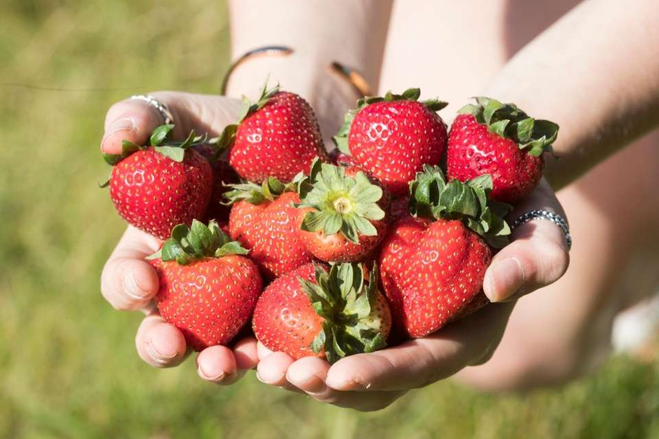 A handful of strawberries at the 63rd annual