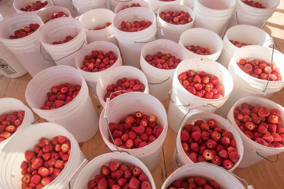 Buckets of strawberries at the 63rd annual Mattituck