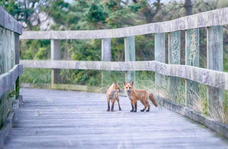 A pair of foxes at Robert Moses State