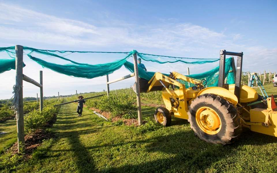 A worker adds netting to protect the blueberries