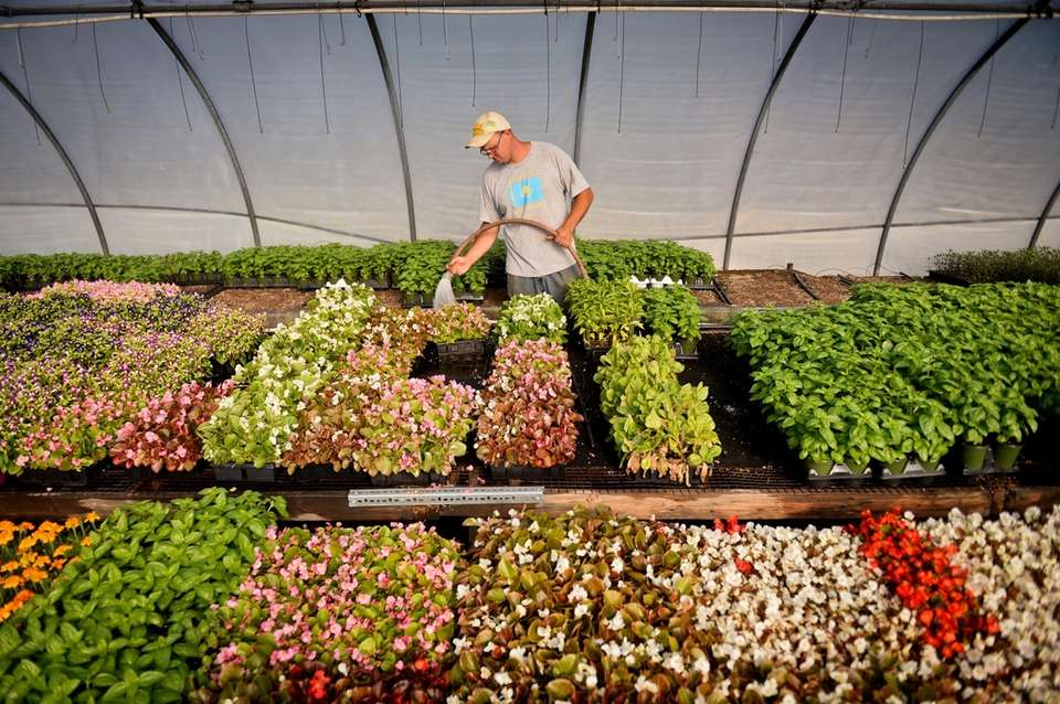 Third-generation greenhouse farmer Alex Reckner waters plants being