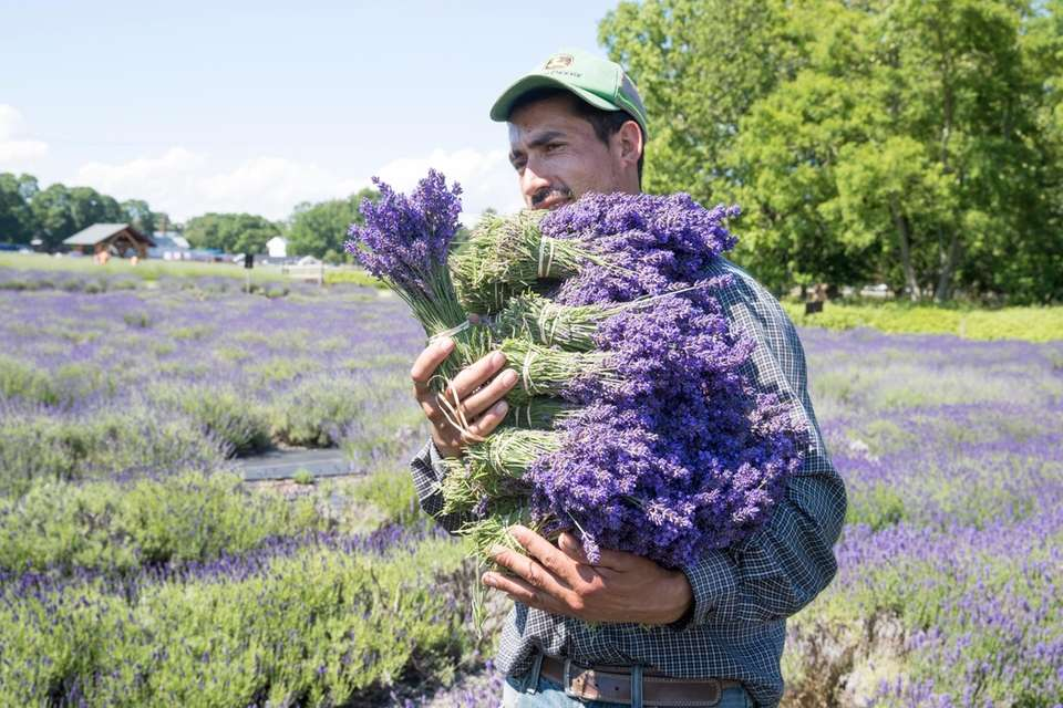 A worker harvests lavender at Lavender by the