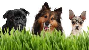 Dogs that eat grass could have intestinal worms,