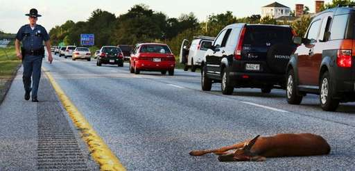 A wounded deer lies in the road after