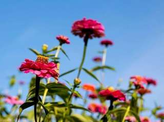 Zinnias in the garden.