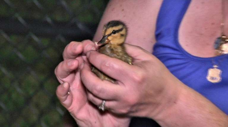 Six ducklings were rescued from a storm drain