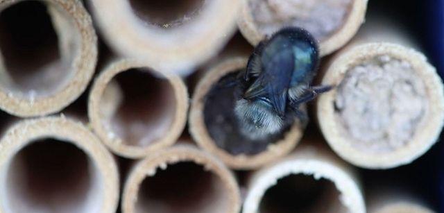 Southold beekeeper Laura Klahre raises and uses mason