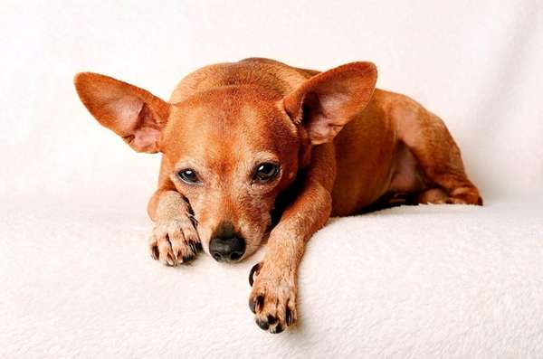 An older miniature pinscher who is suddenly turning