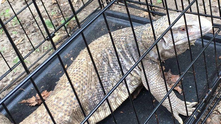 A Savannah Monitor lizard was resting Tuesday, July