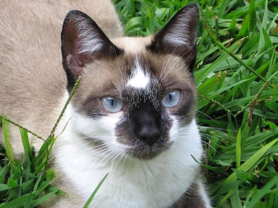 Native to Thailand, Siamese cats are known for