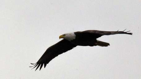 A bald eagle flies over Hempstead Lake
