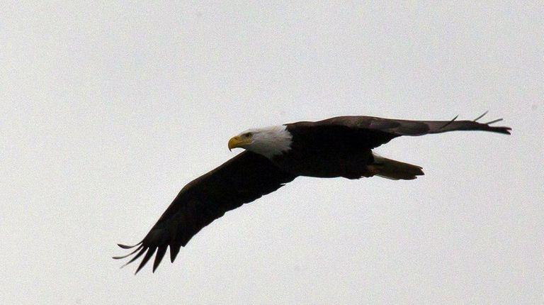 A bald eagle flies over Hempstead Lake