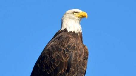 An adult bald eagle surveys Beaver Dam in