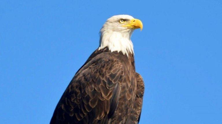 An adult bald eagle surveys Beaver Dam in