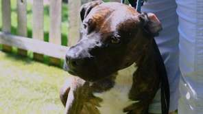 Marbles is a 3-year-old pit bull terrier with