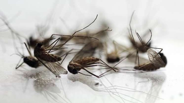 Mosquitoes are displayed in Pittsfield, Mass. on Aug.