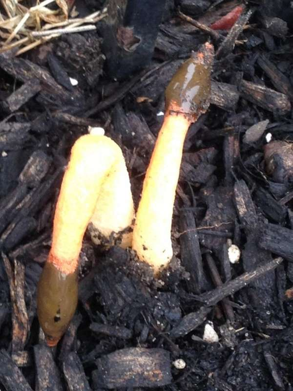 The Stinkhorn mushroom, known scientifically as phallus impudicus