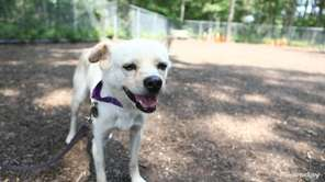 Sydney is a buff, male Chihuahua-Smooth Coated mix.