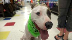 Sebastian is a lovable 2-year-old male pit bull