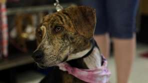 Little-Bit is a beautiful brindle female about 1-year-old.