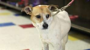 Kiki is a 7-year-old female fox terrier mix