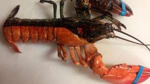 A rare, two-toned lobster appeared in a shipment