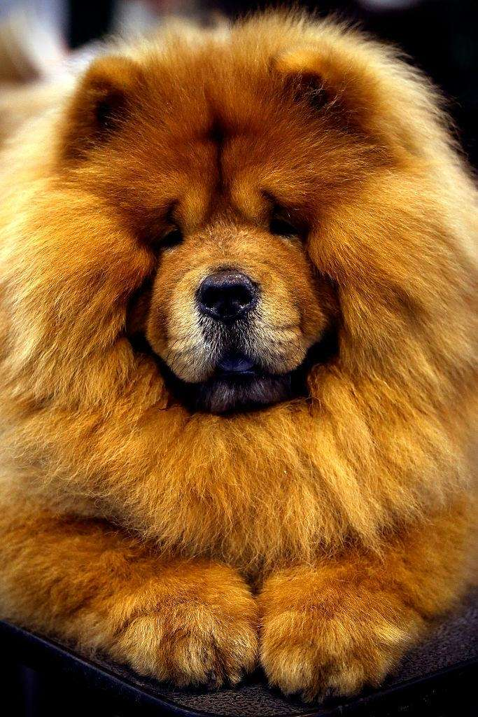 14 of the most expensive dog breeds newsday - Images of chow chow puppies ...