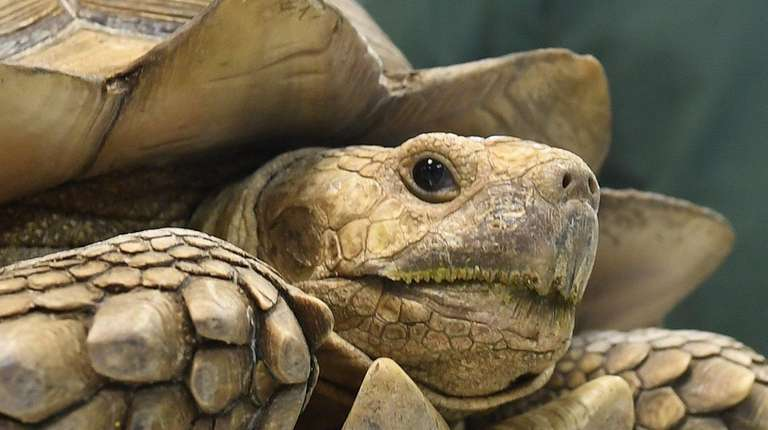 Tito, a 77-pound African spurred tortoise, was reunited