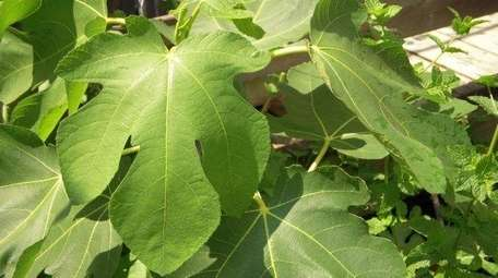 A fig tree growing in a sunny spot