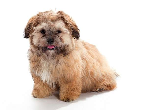 A shih poo is a mixed breed of