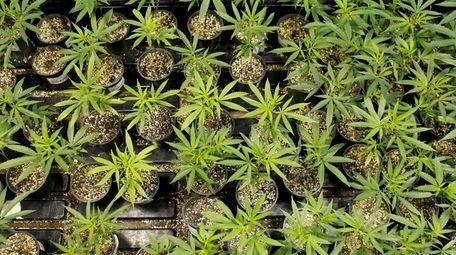 Marijuana plants bloom at a laboratory in Natural