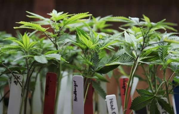 Marijuana plants are on display at a medical