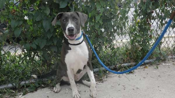 Hannah is a 10-month-old Weimaraner-hound mix who is