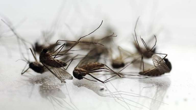 Mosquitos collected by Chris Horton, of the Berkshire