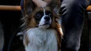 Tommy is a young male Papillon recently rescued