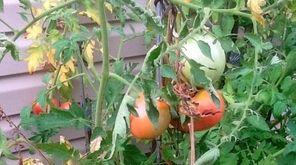 Fusarium wilt of tomato.