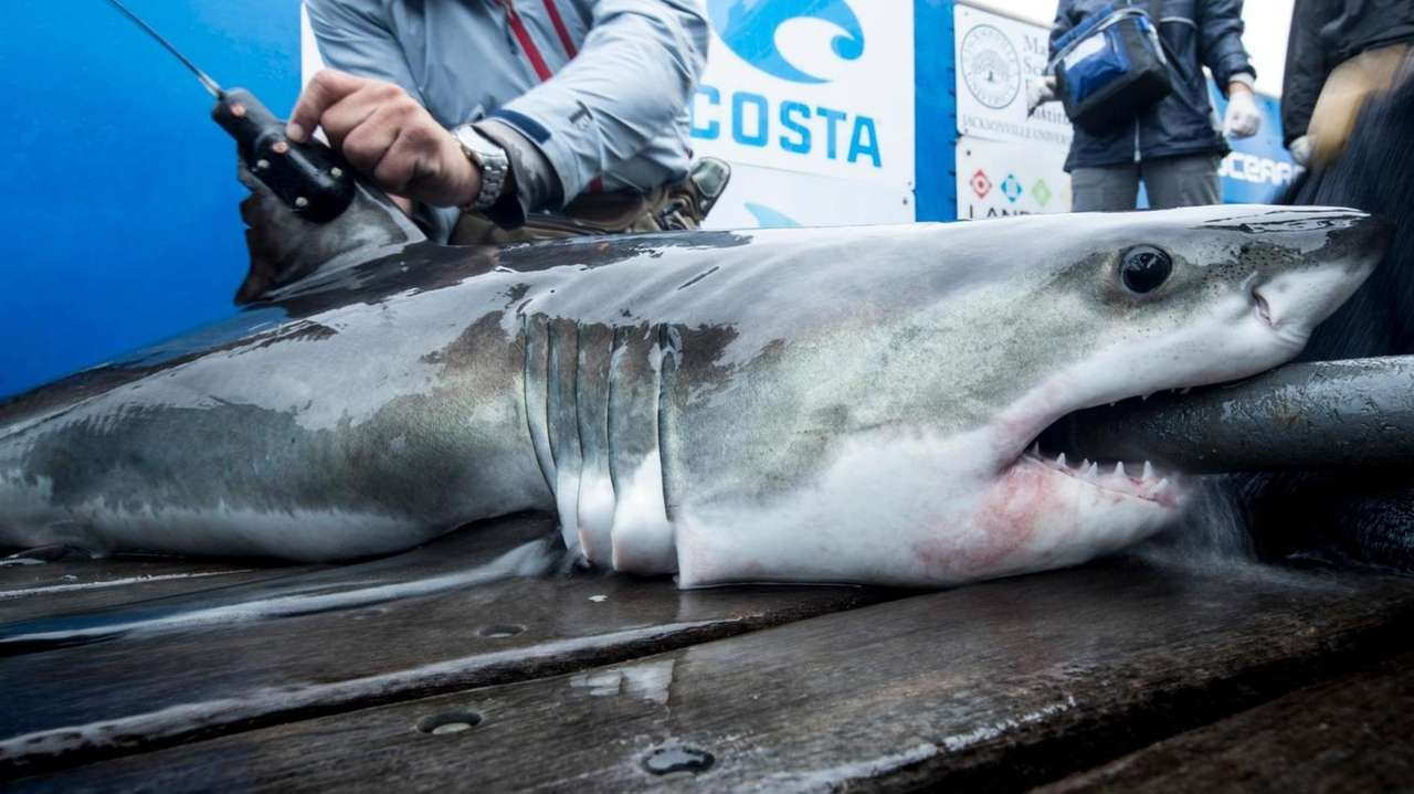 Ajuvenile great white shark was tagged off the