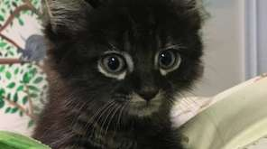 Honda, a 5-week-old kitten, was rescued Aug. 15,