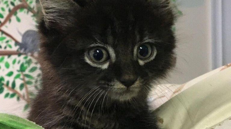 Honda, a 5-week-old kitten, was rescued Aug. 15,