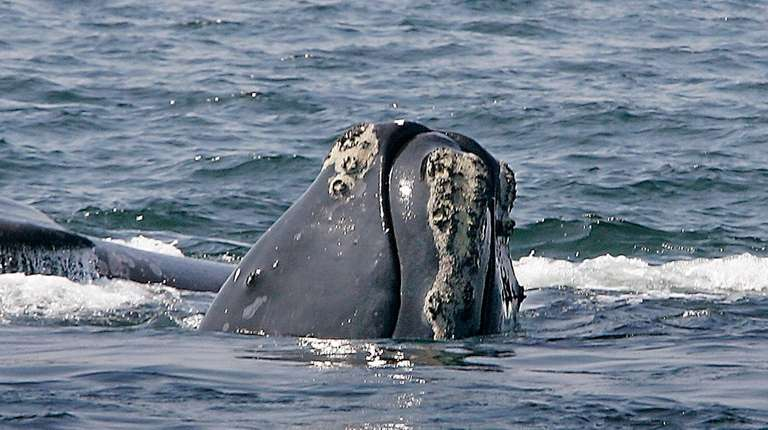 A North Atlantic right whale breaks the ocean