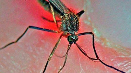 A adult female of the Culiseta melanura species,