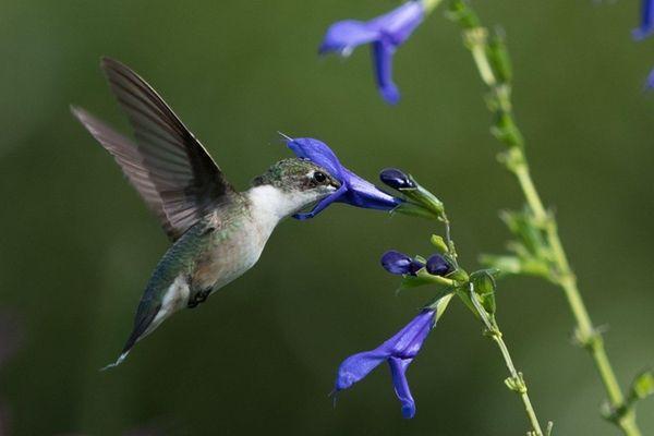 A hummingbird feeds at Paul Adams' sanctuary in