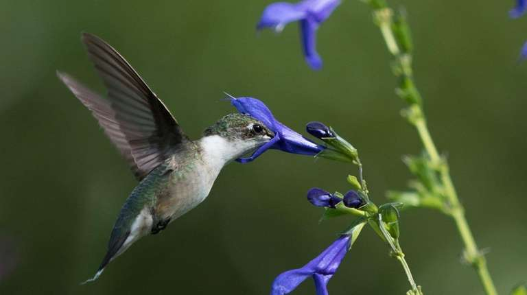 A hummingbird feeds at Paul Adams' sanctuary in