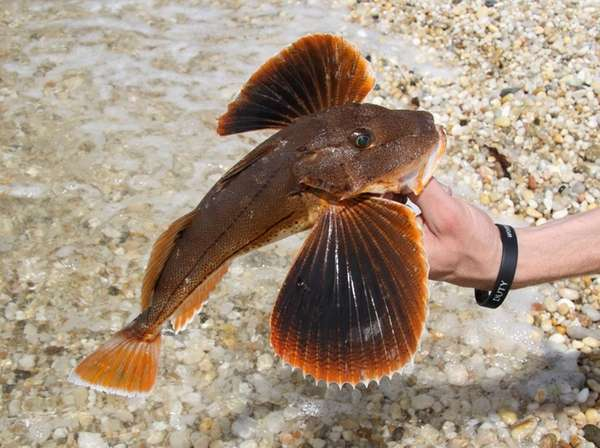 Sea robins will be the target on Moriches