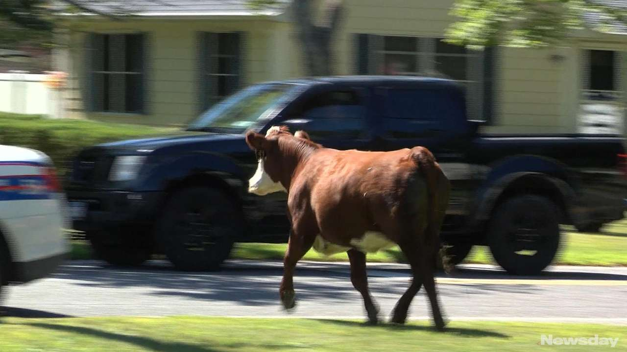 An escaped cow ran through the streets of