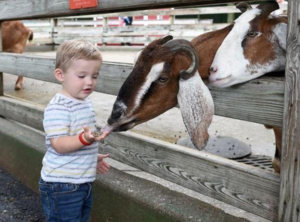 Jack Boyle, 1, of Hicksville, feeds a goat