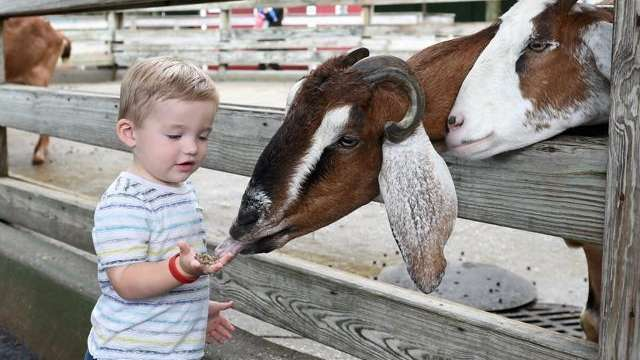 Jack Boyle, 1, of Hicksville, feeds a goat