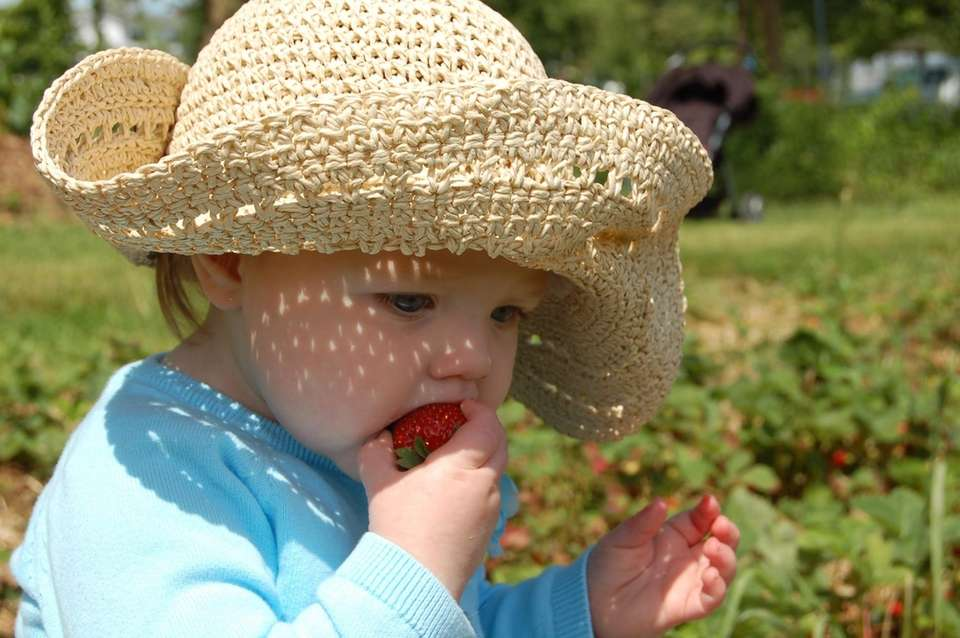 Strawberry picking at Golden Earthworm Organic Farms was